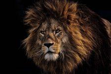 El viejo león